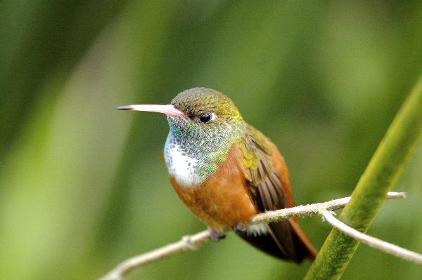 Amazilia Hummingbird In Their Natural Habitat