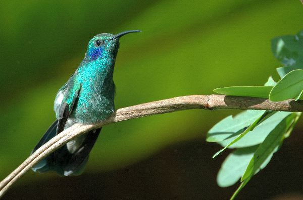 Beautiful Green Violetear Hummingbird