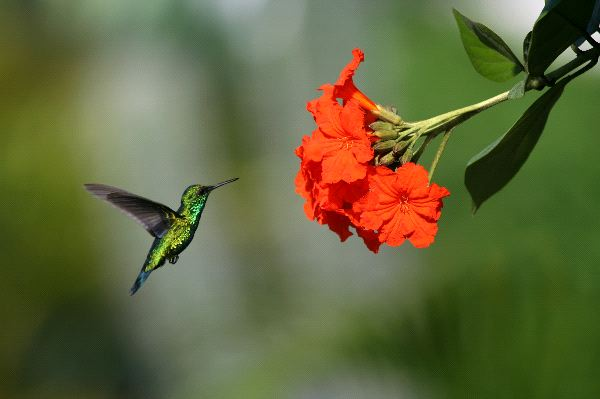 Blue-Tailed Emerald Approaching A Flower