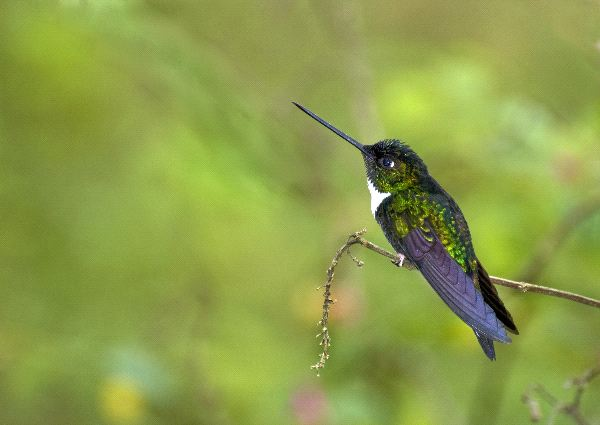 Collared Inca Hummingbird In South American Forest