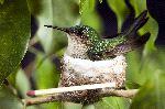 Female Ruby-Throated Hummingbird in Nest