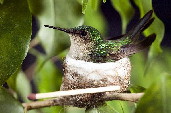 Female Ruby-Throated Hummingbird in Nest