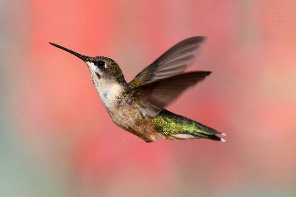 Female Ruby Throated Hummingbird With A Colorful Background