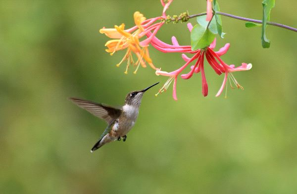 Hummingbird And Honeysuckle Flower