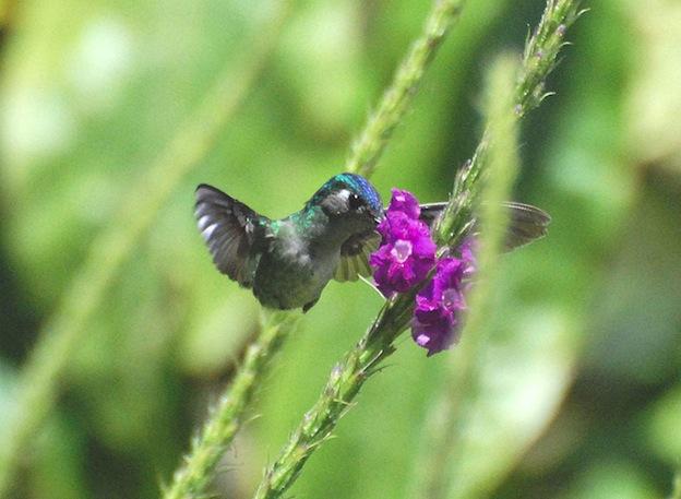 Información sobre el colibrí cabeza violeta