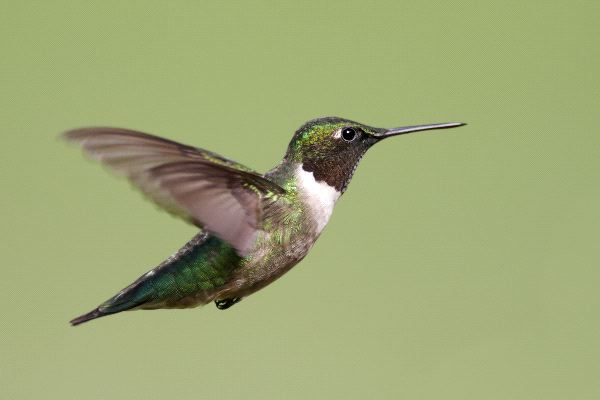 Male Ruby-Throated Hummingbird During Flight