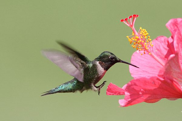Male Ruby Throated Hummingbird - Archilochus Colubris