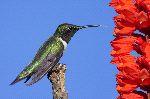 Colibri De Garganta Roja Con Flores Rojas_150