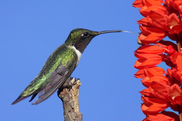 Male Ruby Throated With Red Flowers