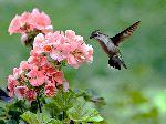 Colibri De Garganta Roja Comiendo De Una Planta Con Flores_150