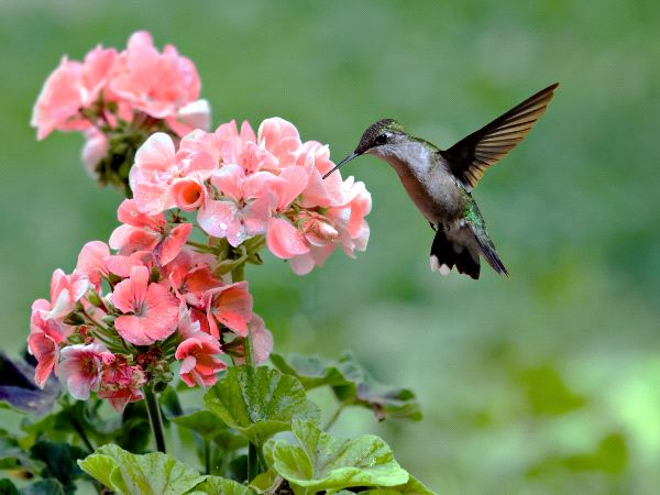 Ruby-Throated Hummingbird Feeding On A Flowering Plant
