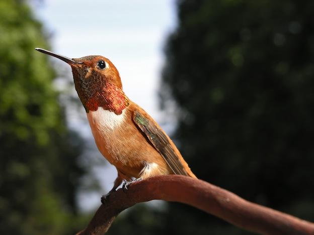 Rufous Hummingbird characteristics
