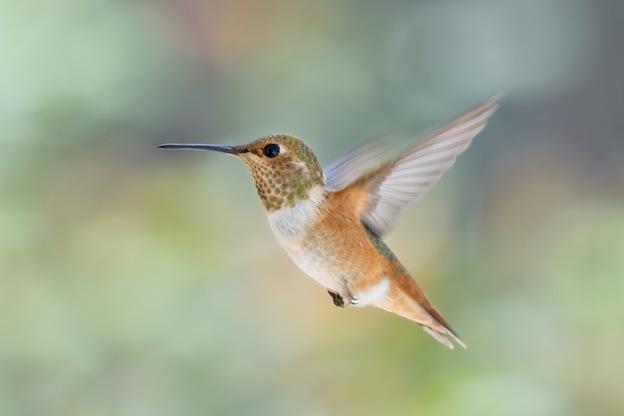 Descripción del colibrí Rufo Selasphorus rufus