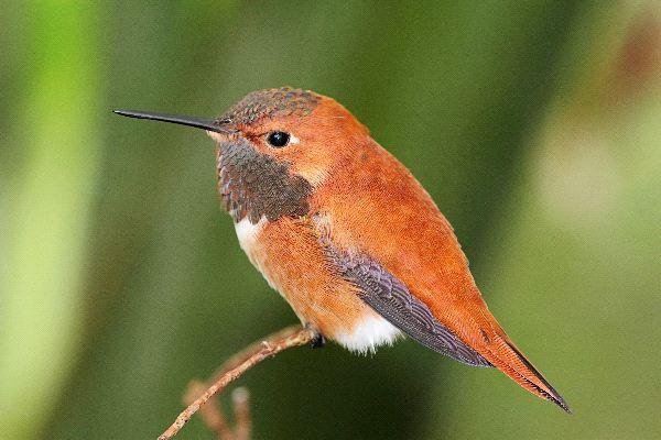 http://hummingworlds.com/wp-content/uploads/Rufous_Hummingbird_On_A_Perch_-_Selasphorus_Rufus_600.jpg