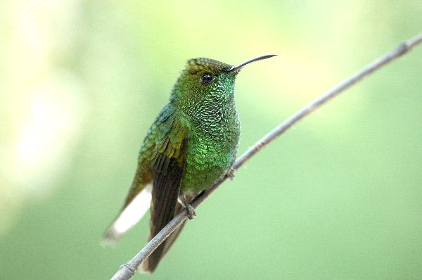 Small Hummingbird In Subtropical Forest