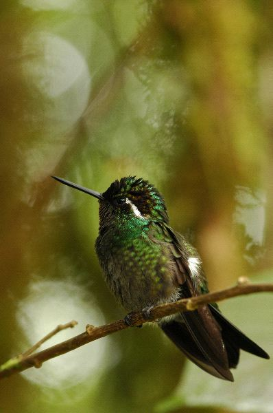 Small Hummingbird On A Thin Branch