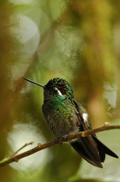 Pequeno_colibri_sobre_una_delgada_rama_600