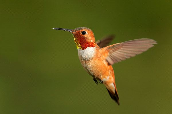 Small Rufous Hummingbird In Flight