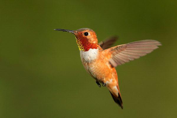 Small Rufous Hummingbird In Flight