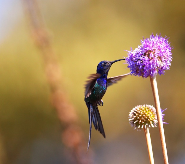 Swallow-Tailed Hummingbird feeding on the flower