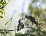 Two Hummingbirds In Feeding Time