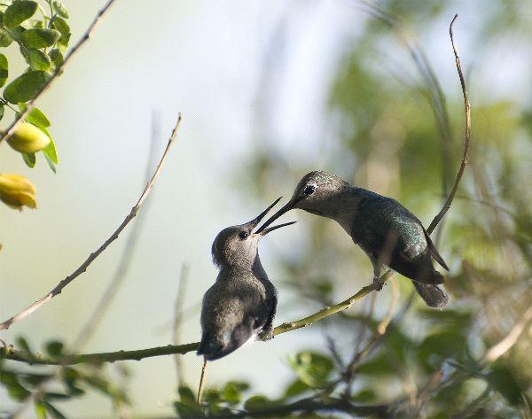 Two Hummingbirds In Feeding Time