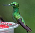 Versicoloured Emerald Hummingbird Still