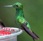 Versicoloured Emerald Hummingbird Still