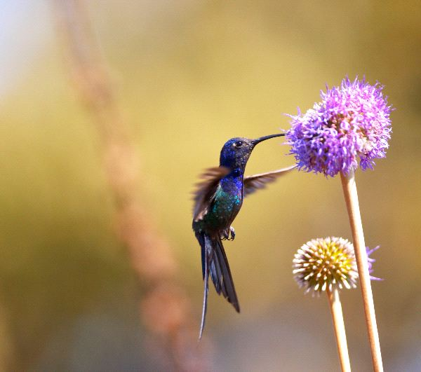 Violet-headed Hummingbird Feeding On Flower
