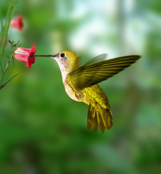 Yellow Hummingbird Absorbing Nectar