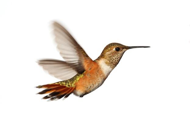 vuelo de los colibríes