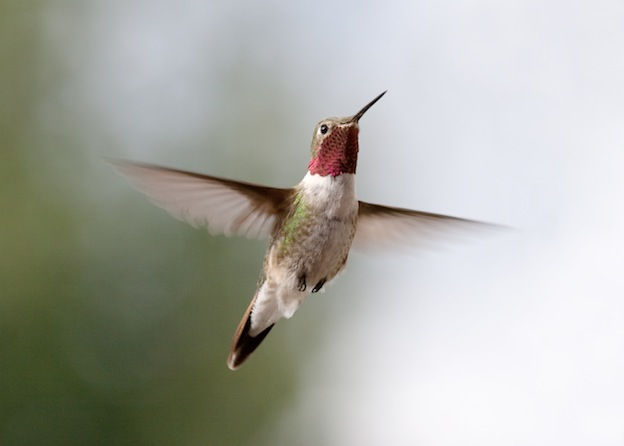Hummingbird Physical Characteristics
