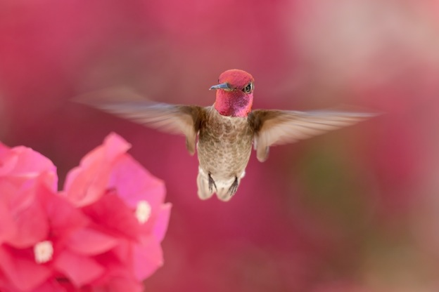 Descripción del colibrí de Ana.