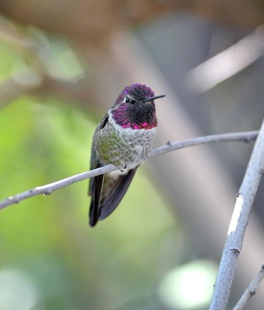 información sobre el colibrí de Ana.