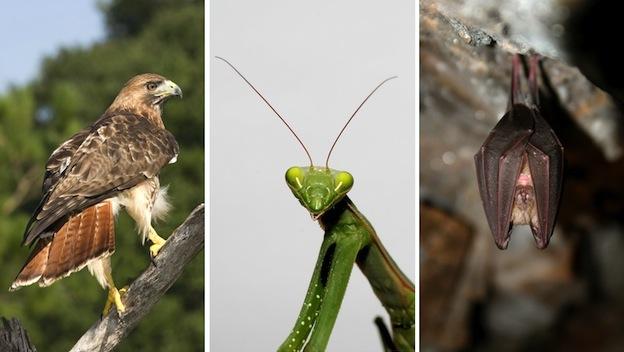 enemigos naturales de los colibríes.
