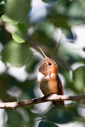 Rufous Hummingbird perches in a tree in New Mexico's Rocky Mountains