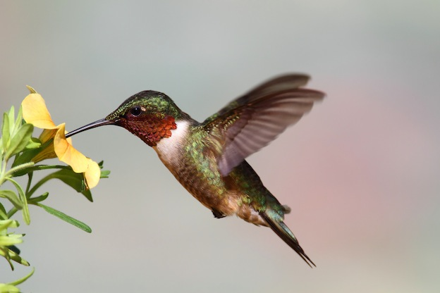 Hummingbird diet