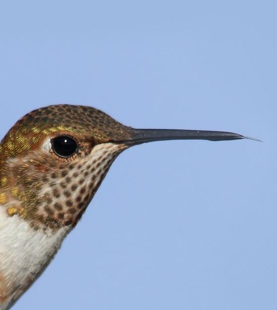 Anatomía interna y externa de los colibríes.