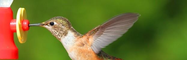 Receta de Néctar Casero para Colibríes