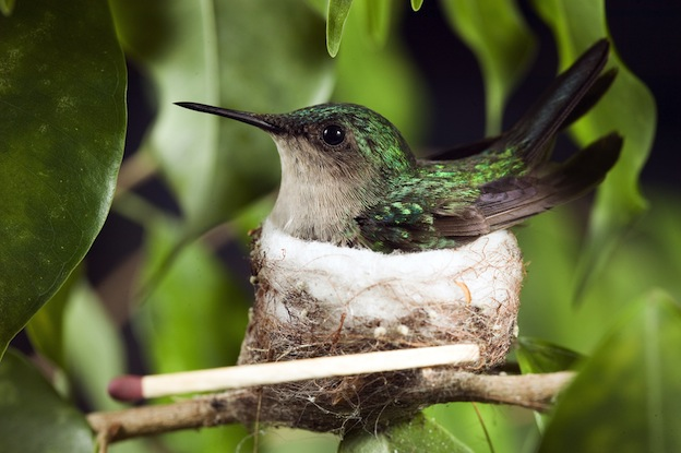 Hummingbird Breeding