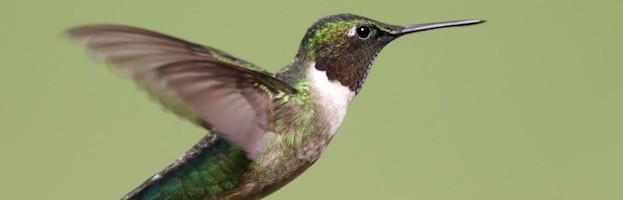 Especies de Colibríes