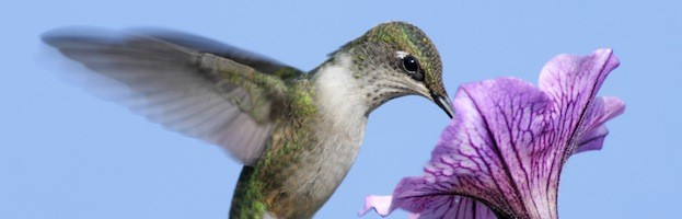 Hummingbird Species