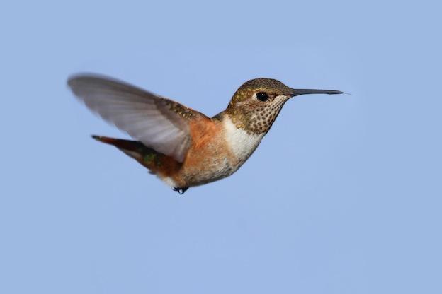 Hummingbird Species Overview