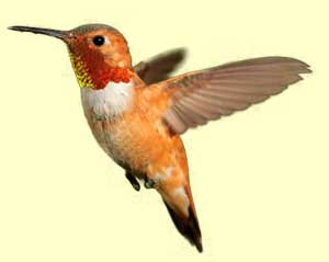 top hummingbird facts